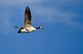 Lone canada goose flying in a blue sky clear Stock Images