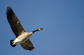 Lone canada goose flying in a blue sky clear Stock Photo