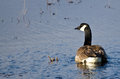 Lone canada goose resting on the water Stock Images
