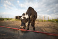 Lone cattle at empty feedbunk a black angus steer in front of an Royalty Free Stock Photos
