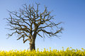 Lone dead tre oak tree at blue sky in a canola field Royalty Free Stock Photography