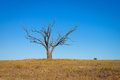 Lone dead tree on the gibber and mitchell grass plains in the sturt desert of outback new south wales australia Royalty Free Stock Photo