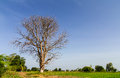 Lone dead tree located on dry ground in the green rice Royalty Free Stock Photos