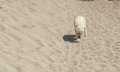 Lone dog in the middle of the sand in sunny day. Sandy Bay, Lake Baikal Royalty Free Stock Photo