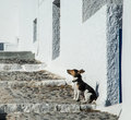 A lone dog on a sidewalk on Santorini island in Greece Royalty Free Stock Photo