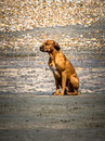 Lone dog waiting Royalty Free Stock Photo