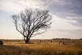 Lone dry tree a in the middle of a vast field of grass a typical australian landscape evening lighting high contrast Royalty Free Stock Photography