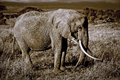 Lone elephant with large tusks in sepia Stock Images
