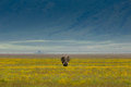 Lone Elephant Walking On Plain Royalty Free Stock Photos