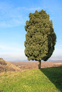 Lone evergreen tree stands on the hill Royalty Free Stock Image