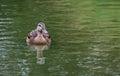 Lone Female Mallard Duck Swimming Forward in a Pond