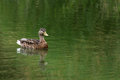 Lone Female Mallard Duck Swimming in Pond