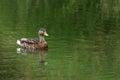 Lone Female Mallard Duck Swimming in Pond
