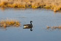Lone goose a alone in the water a side view with reflection in the water dried grass surrounding the water Stock Photo