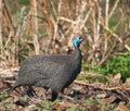 Lone Guinea fowl Stock Image