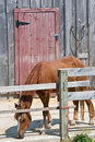 Lone horse eating in front of red barn door Royalty Free Stock Photo