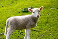 Lone little lamb mum new zealand Royalty Free Stock Photo
