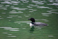 Lone Loon in an Alaskan Lake Royalty Free Stock Images