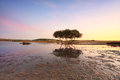 Lone mangrove tree at low tide Royalty Free Stock Photo
