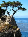 Lone monterey cypress famous against backdrop of pacific ocean california Royalty Free Stock Image