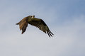Lone Osprey Making Direct Eye Contact While Flying in a Blue Sky Royalty Free Stock Photo