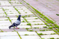 Lone pigeon looking at the camera Royalty Free Stock Photo