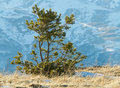 Lone pine tree little young on the mountain descent covered by snow and old dry grass by a sunny winter day this landscape can be Stock Images