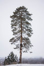 Lone pine tree in winter forest. Royalty Free Stock Photo