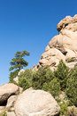 Lone ponderosa pine at turtle rocks colorado old tree grows from rocky plateau by near buena vista famous for climbing Stock Photos