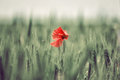 Lone poppy in a field Royalty Free Stock Photo
