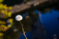 Lone ranger single dandelion against water with selective focus Royalty Free Stock Photos