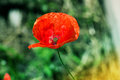 Lone Red poppy on green weeds field. Poppy flowers. Royalty Free Stock Photo
