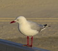 A lone seagull sea gull checking things out Stock Images