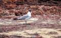 Lone seagull standing on dead seaweed Stock Photography