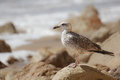 Lone seagull standing on a rock Stock Photography
