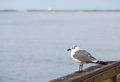 Lone seagull on wood pier a perched a raiiing with sea in background Stock Photography