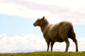 Lone sheep on the horizon new zealand Royalty Free Stock Image