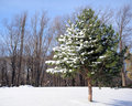 Lone Snow-Covered Pine Royalty Free Stock Photos