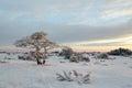 Lone snowy pine tree