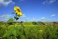 Lone sunflower Royalty Free Stock Photo