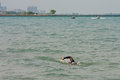 Lone Swimmer Swims Lake Michigan Stock Image