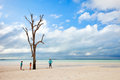 Lone tree at beach most photographed on harbour island bahamas with family walking around Royalty Free Stock Image