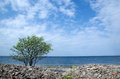 Lone tree at coast the of the baltic sea from the island oland in sweden Royalty Free Stock Photography
