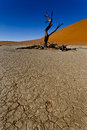 Lone tree in a desert old with cracked dry earth the foreground Stock Photo