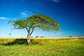 Lone tree on a farmland in green image taken bright sunny day with blue skies in the background Royalty Free Stock Photo