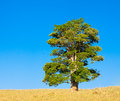 Lone tree on a hill against blue sky in tropical queensland australia Stock Photography