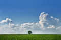 Lone tree landscape with in the field with sky and cumulus clouds Stock Images