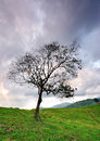 Lone tree in the meadow with dramatic sky single and lonely eerie atmosphere Royalty Free Stock Image