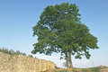 Lone tree over blue sky with stone wall Royalty Free Stock Photo
