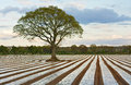 Lone tree in ploughed agricultural field making use of plastics for modifying crop microclimates Stock Image